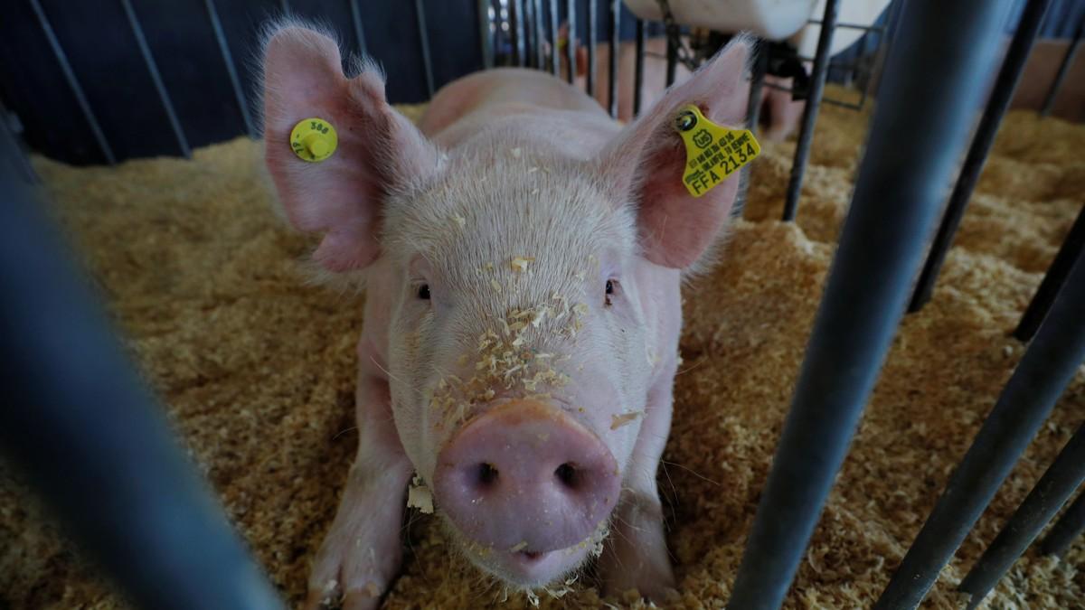 Phát hiện thêm virus nguy hiểm ở lợn tại Trung Quốc tiềm ẩn khả năng gây ra đại dịch mới