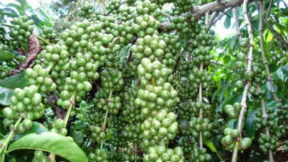 Việt Nam trở thành nước cung cấp hạt cà phê hàng đầu vào Nhật do dịch Covid-19