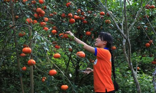 Kiếm tiền tỷ từ trồng cam sạch ở vùng cao