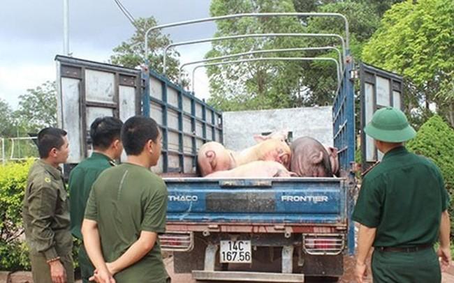 """Bất chấp dịch tả lợn Châu Phi hoành hành ở Trung Quốc: Vẫn ngang nhiên """"cõng"""" lợn vào nội địa"""