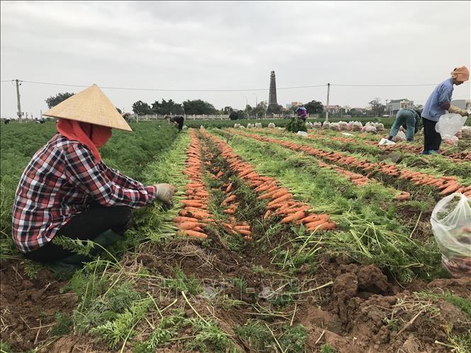Hải Dương ùn ứ gần 50.000 tấn cà rốt và rau màu chờ tháo gỡ