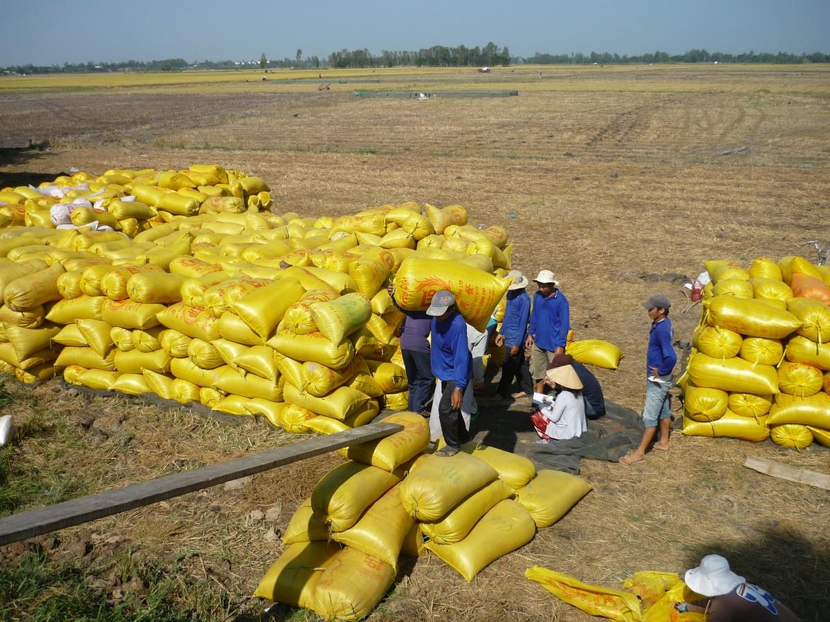 Nhu cầu cao, nguồn cung hạn hẹp đang đẩy giá gạo tăng mạnh