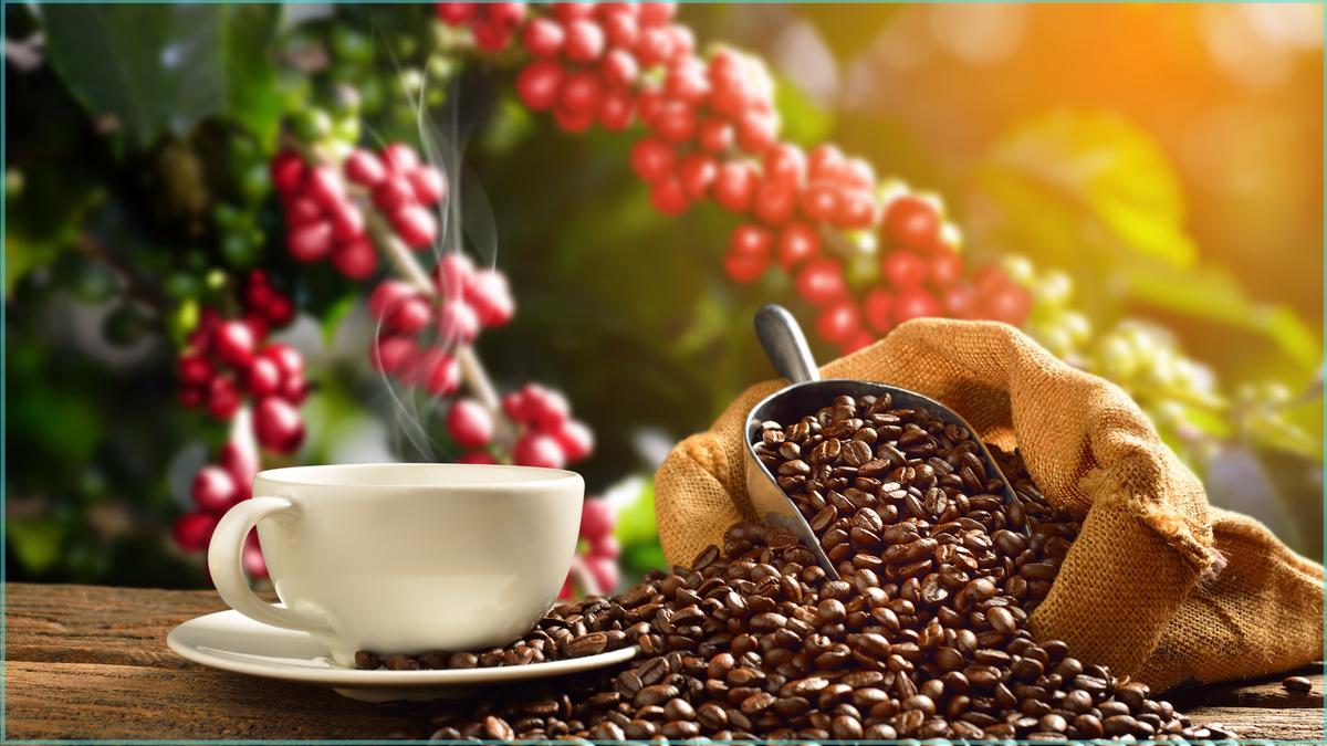 Giá cà phê Robusta tiếp tục tăng sốc, Arabica cao nhất hơn một năm qua