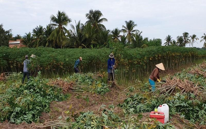 Giá sắn tươi lập kỷ lục, nông dân trồng sắn lợi nhuận cao