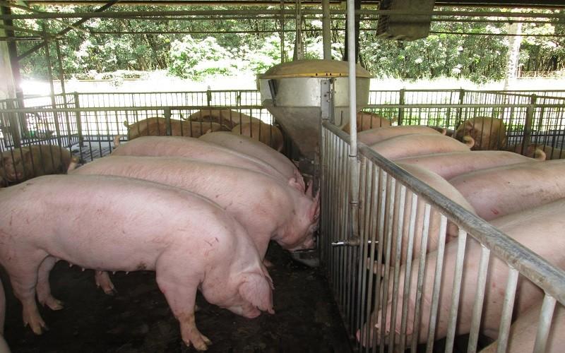 Xuất khẩu heo giống: Bước tiến lớn của ngành chăn nuôi Việt Nam