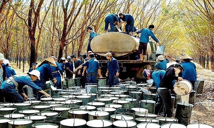 Trung Quốc tiêu thụ 70% lượng cao su xuất khẩu của Việt Nam