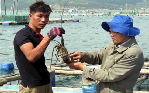 Tôm hùm nuôi chết hàng loạt khiến người dân Phú Yên lao đao