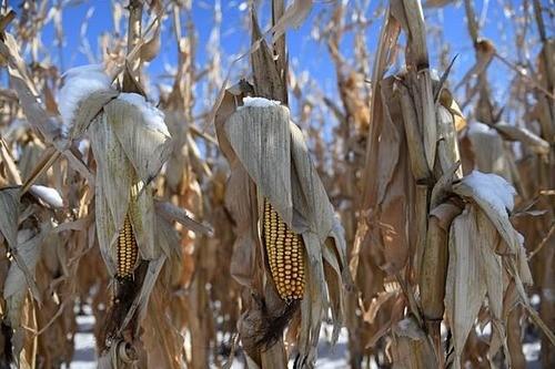"""""""Ác mộng"""" chưa dứt của nông dân Mỹ"""