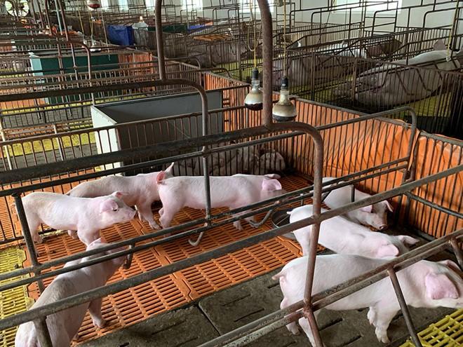 Thiếu lợn giống sau dịch tả lợn châu Phi