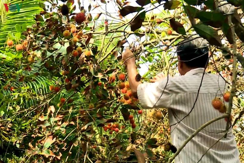 Nhà vườn trồng chôm chôm ở Trà Vinh thiệt hại kép do hạn mặn