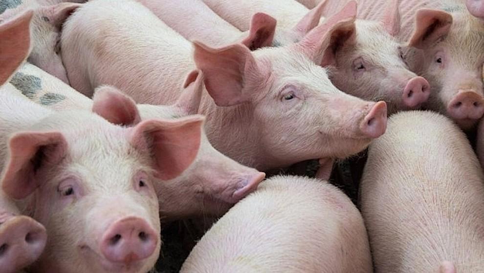 Giá lợn hơi đang trong xu hướng giảm