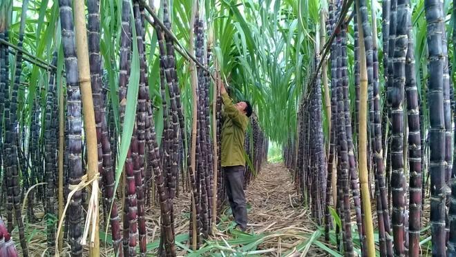 Đánh thuế chống bán phá giá đường mía từ Thái Lan gần 34%