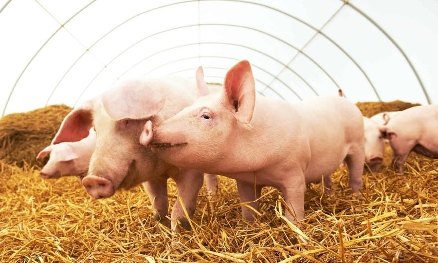 Hoàng Anh Gia Lai (HAG) báo lãi quý 2/2021 nhờ nuôi heo, lỗ luỹ kế vẫn hơn 7.500 tỷ đồng