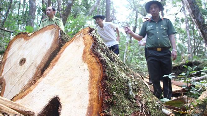 Vụ phá rừng Pơmu ở biên giới Việt - Lào quá khủng khiếp