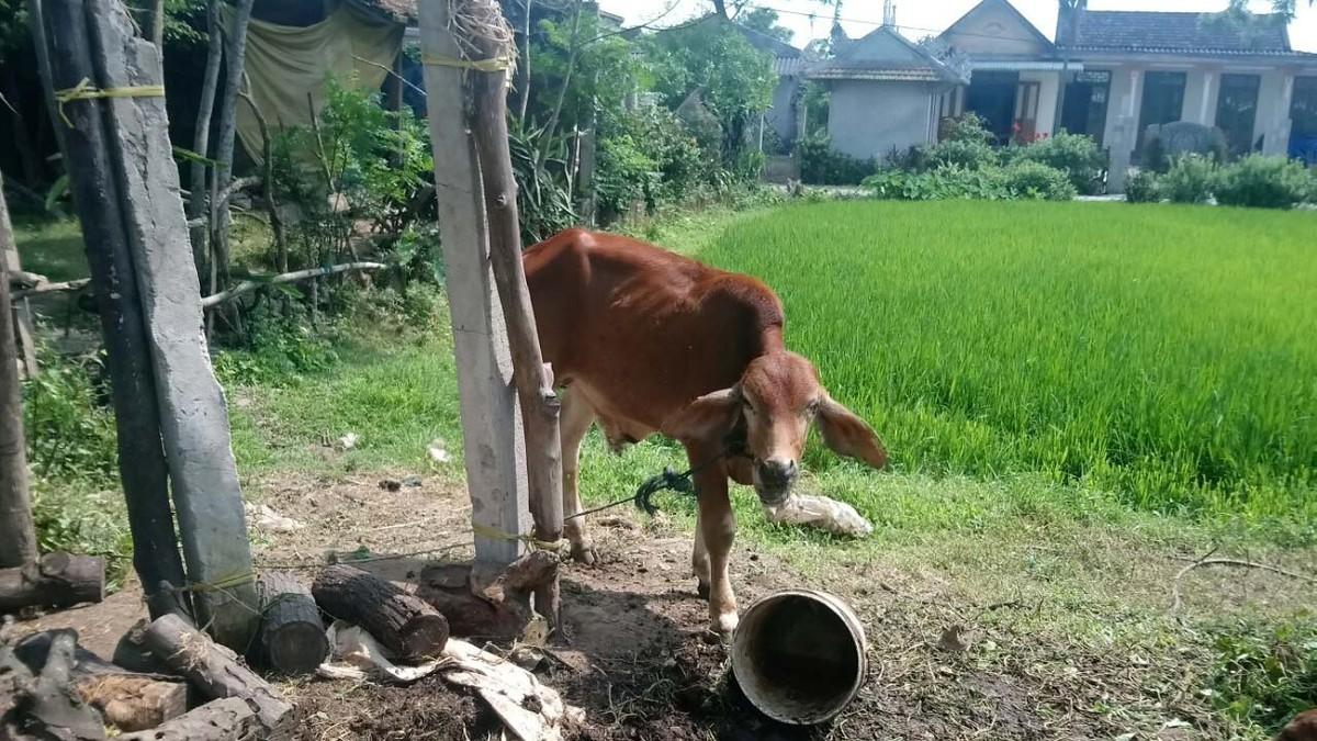 """Bò giống """"lạc"""" vào nhà cán bộ xã ở Quảng Trị: Gầy yếu nên giết thịt"""