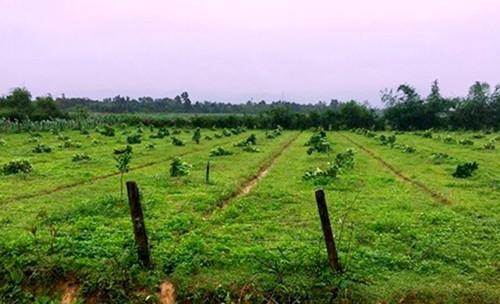 Gần 200 cây bưởi đặc sản Phúc Trạch bị chặt hạ trong đêm