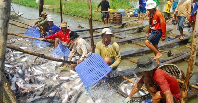 Thị trường 24h: Hiển hiện nguy cơ vỡ trận cá tra