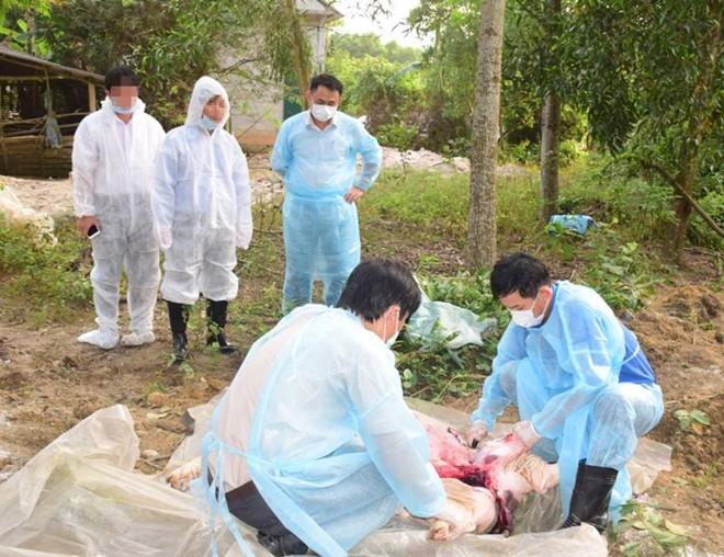 Phát hiện thêm ổ dịch tả lợn châu Phi ở Thừa Thiên - Huế