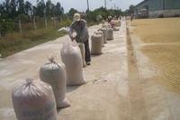 Bán xa - Bài toán khó đối với doanh nghiệp xuất khẩu gạo