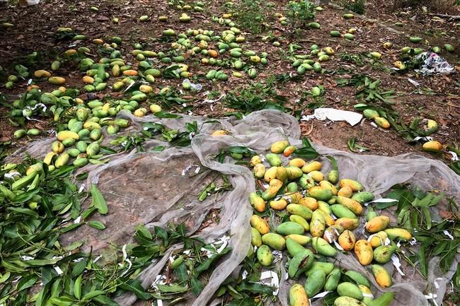 Xoài chín rụng đầy vườn ở xã miền núi huyện Tịnh Biên, tỉnh An Giang.Ảnh: LỤC TÙNG