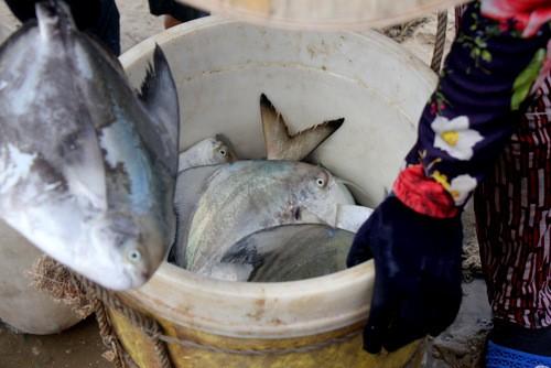 Cá chim giá đắt đỏnên ngư dân bảo quản rất cẩn thận.Ảnh: Nguyễn Khoa.
