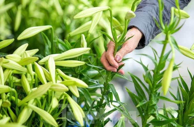 Người trồng hoa Hà Nội lâm cảnh 'hoa cười người khóc' - ảnh 3