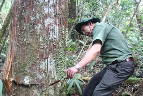 """Hiện trường vụ phá rừng Pơmu ở biên giới Việt – Lào: """"Quá khủng khiếp!"""" 2"""