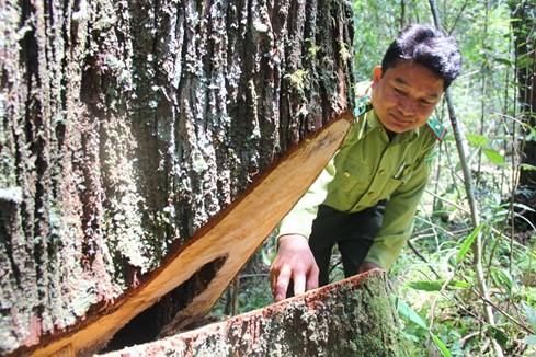 """Hiện trường vụ phá rừng Pơmu ở biên giới Việt – Lào: """"Quá khủng khiếp!"""" 3"""