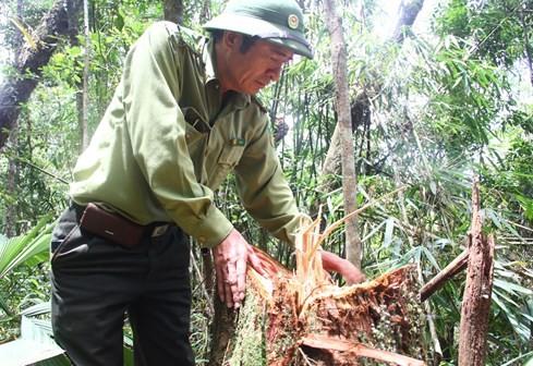 """Hiện trường vụ phá rừng Pơmu ở biên giới Việt – Lào: """"Quá khủng khiếp!"""" 6"""