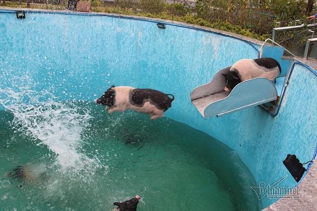 Chưa từng thấy: Lợn sang chảnh nghe nhạc, bơi như cá