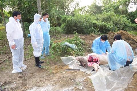 Phát hiện thêm ổ dịch tả lợn châu Phi ở Thừa Thiên - Huế - ảnh 1