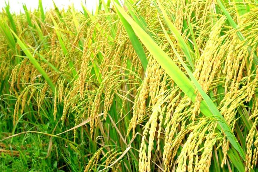 Việt Nam nhập khẩu gạo từ Ấn Độ lần đầu tiên trong nhiều thập kỷ