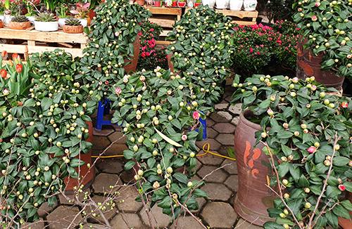 Cây hoa trà đặc biệt khó uốn dáng vì thân dễ gãy. Ảnh: Trọng Nghĩa.