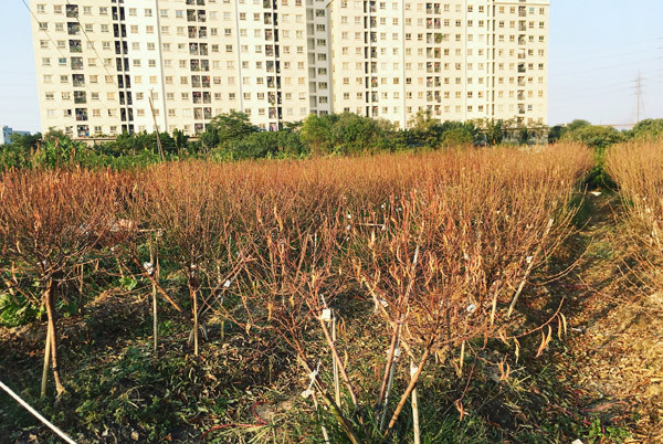 Cả vạn gốc đào chết khô, Hà Thành khóc ròng mùa Tết trắng tay - Ảnh 2.