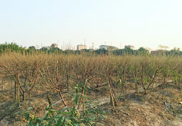Cả vạn gốc đào chết khô, Hà Thành khóc ròng mùa Tết trắng tay - Ảnh 3.