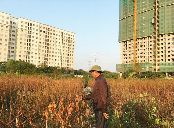 Cả vạn gốc đào chết khô, Hà Thành khóc ròng mùa Tết trắng tay - Ảnh 8.