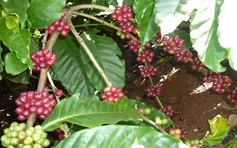 """Giá cà phê trong nước """"rung lắc"""" theo biến động trên thế giới"""
