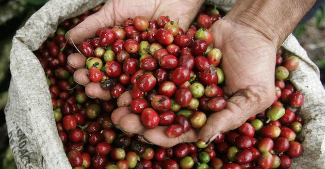 Giá cà phê bật tăng trên mốc 32.000 đồng/kg