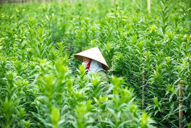 """[Ảnh] Người trồng hoa Hà Nội lâm cảnh """"hoa cười người khóc"""""""