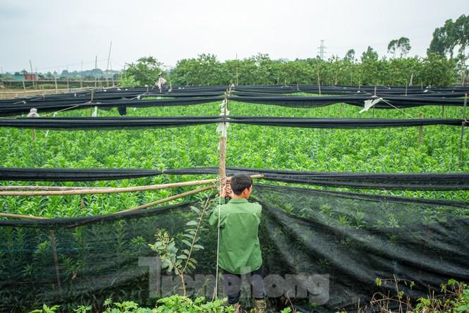 Người trồng hoa Hà Nội lâm cảnh 'hoa cười người khóc' - ảnh 4