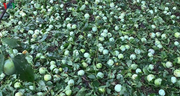 Người trồng hoa quả tỉnh Sơn La thất thu do mưa đá, gió lốc