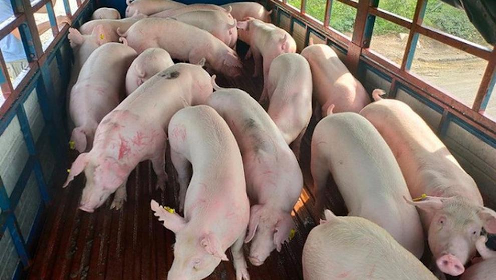 Từ 12/6, doanh nghiệp được phép nhập khẩu lợn sống từ Thái Lan