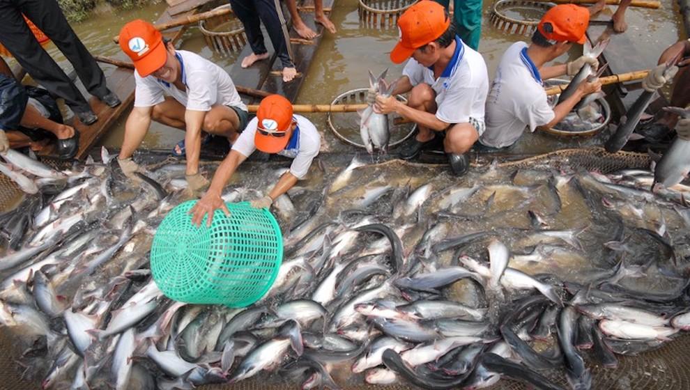 Sản lượng tăng, người nuôi cá tra phải bù lỗ từ 3.000 - 5.000 đồng/kg
