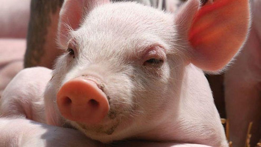 Hỗ trợ từ 30.000 đồng/kg với lợn mắc dịch tả lợn Châu Phi